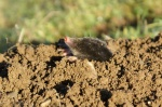 Rare sighting of mole. Is it still raining?
