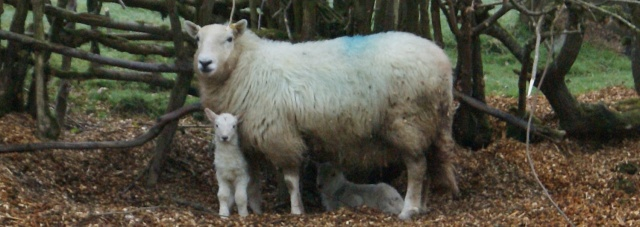 Number Nineteen earlier today with her lambs born a few hours earlier.
