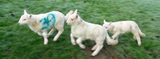 Lambs2014 009gambolling