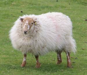 Psycho-sheep