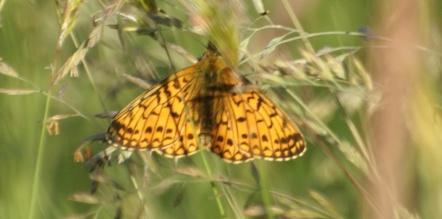 Flitillary butterfly