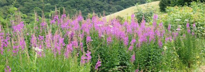 Rose Bay Willow Herb flourishes on any bare ground.