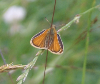 Orange skipper.