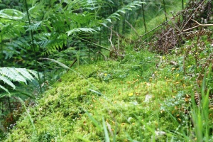 Fruiting moss -- once harvested for florists - you sink into it like green snow.
