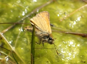 Skipper laying Egg?
