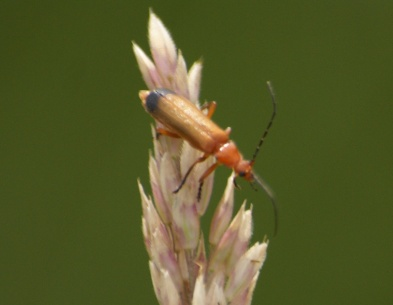 Bloodsucker on Meadow grass