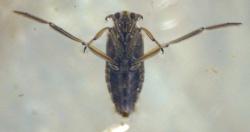 Notonectidae glauca -- Backswimmer