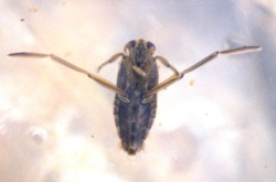 Notonectidae glauca or Greater Water Boatman