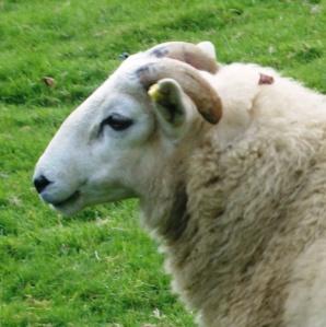Prize Ram-Lamb