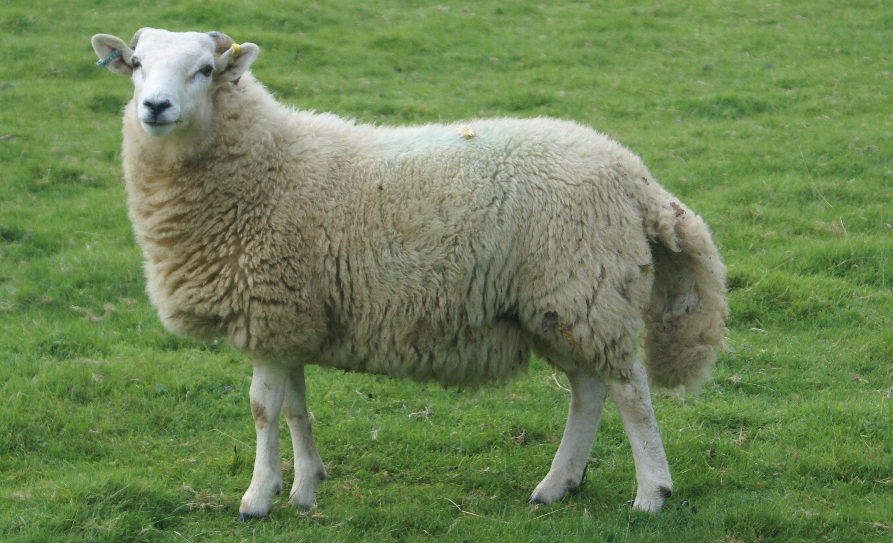 Real Sheep with testicles, tails and bloody noses ...