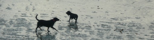 Wet dogs on Par Sands