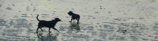 Wet dogs on Par Sands