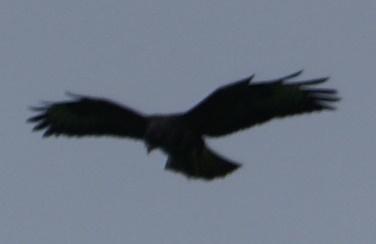 Hovering buzzard