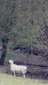Birdwatching Ewe