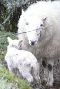 Worried ewe -- over 2 hours and the lamb has not fed
