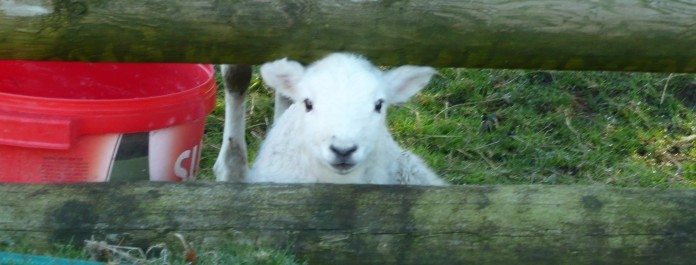 Lamb Friday -- all white and fluffy now.