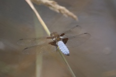 Broad Bodied Chaser-male