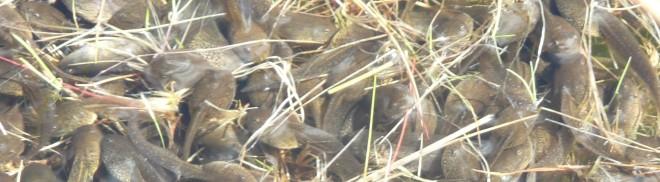 Tadpoles jostle for the sun's warmth