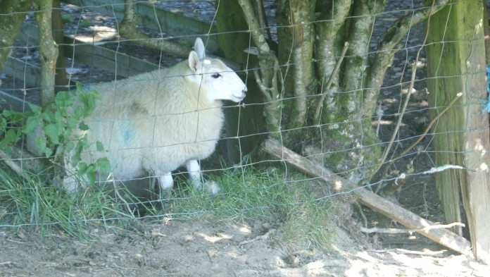Ewe-lamb trapped between two fences and (bottom right) escape route