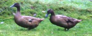 Fuzzy Ducks