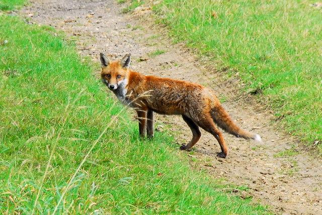 Fox by Julian