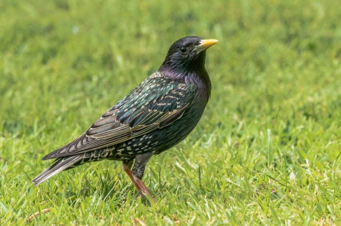 starling-by-john-quine