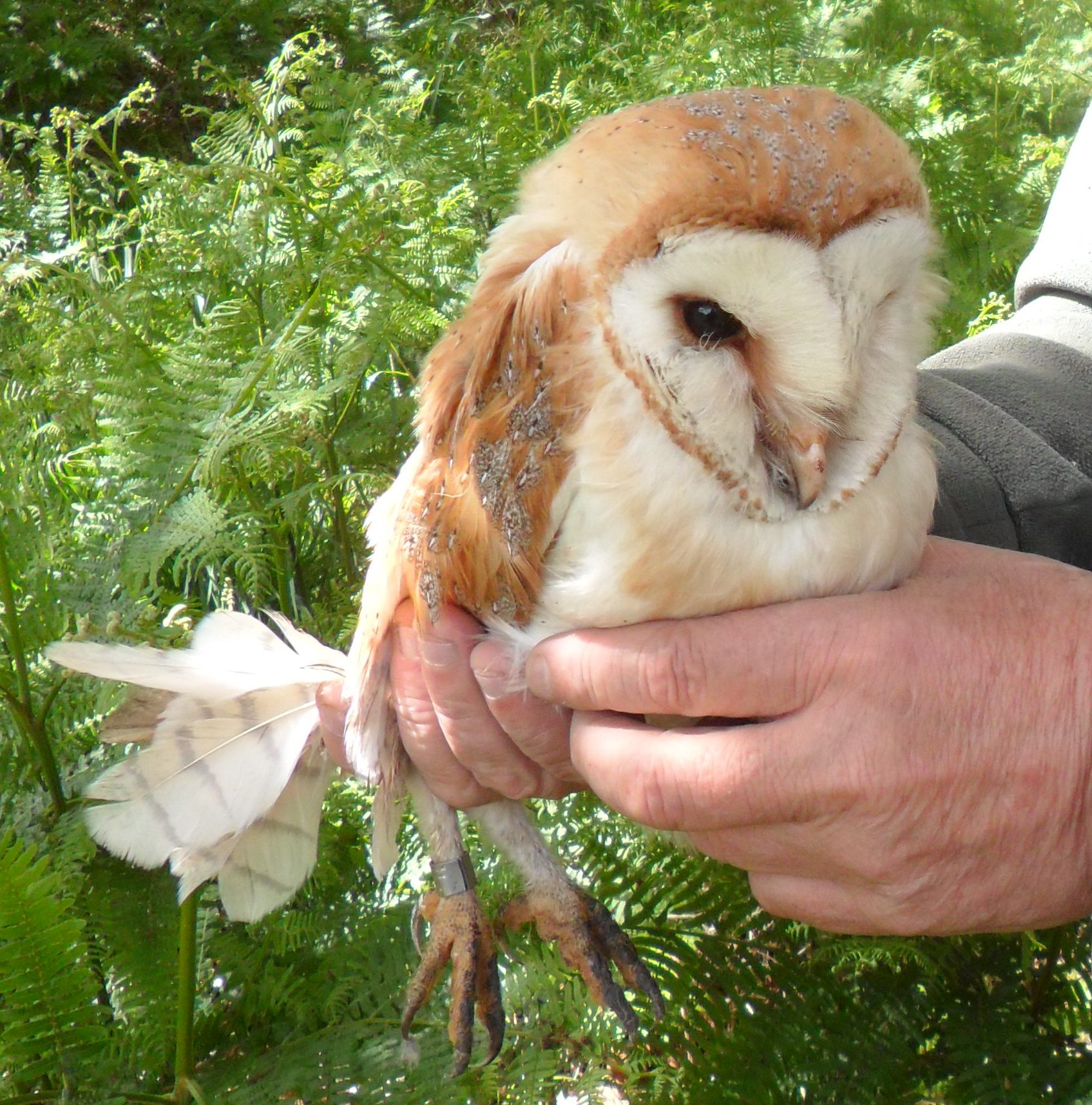 barn owl cropped